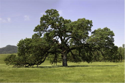 Oak tree color photo